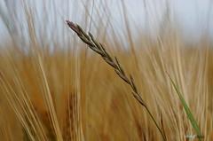GRASHALM (Fimeli) Tags: nature natur feld kornfeld grashalm field kornfield plant makro bokeh