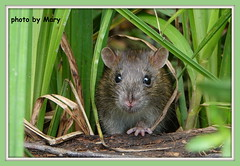 Rat in the undergrowth (maryimackins) Tags: rat undergrowth wildlife mary mackins