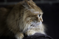 Mandy Monday: Profiling (Photo Amy) Tags: adorable aminal canon50d cat cuddly cute cuteness ef50mm18 eartufts feline fluffy fur furry ginger kitten longhair longhaired orange pet precious red tabby toefur whisker whiskers