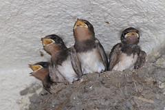 20180724_IMG_2152 (NAMARA EXPRESS) Tags: swallow family child baby bird animal mouth yellow nib nest 2018 daytime fine outdoor color flash strobe toyonaka osaka japan canon eos 7d tamron sp 70300mm f456 zoom namaraexp