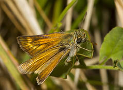 Lulworth Skipper (Thymelicus acteon) (wayne.withers1970) Tags: small pretty wings fly flight flying color colorful nature natural colour colourful wild wildlife england summer macromonday butterfly moth flickr dof bokeh country countryside outside outdoors alive fauna flora canon sigma light blur black white brown orange green fine dark macro macromondays invertebrate bug animal insect durlston dorset lulworth skipper