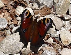 Sommer 2018 Lato (arjuna_zbycho) Tags: sommer lato motyle schmetterlinge swallowtail schmetterling motyl lepidoptera insekten insecta groserperlmutterfalter argynnisaglaja blauschwarzeeisvogel limenitisreducta falter tagfalter edelfalter