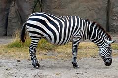 IMG_0789 (Bob_lewerissa) Tags: wildlands emmen zoo canon 80d 70200 l nonis usm