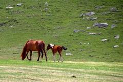 running wild (sculptorli) Tags: 草原 steppe horse china landscape grassland animal parenting mongol mongolian przewalski'shorse koń caballo pferd cheval лошадь kůň ló kôň 马 حصان 馬 capall hest اسب cal ਘੋੜਾ häst hevonen paard hobune گھوڑے кінь кон konj wild степь 大草原 талхээр sztyeppe степ дала chol arojen