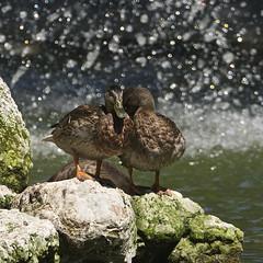 Dauerdusche... wir haben`s gut, nicht wahr ?? (doro 51) Tags: enten ducks wasser water dusche shower bokeh dorophoto 2018