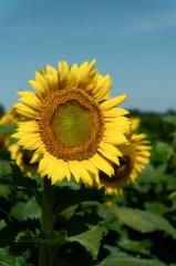 sunflower_072918_01 (Linda Moll Walker) Tags: sunflowers elverson pa summer