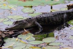 American alligator (Alligator mississippiensis), (im2fast4u2c) Tags: americanalligatoralligatormississippiensis sheldonlakestatepark gator or common alligator crocodilian reptile alligatoridae genus apex predators