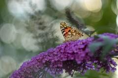 Butterfly (agnieszka.a.morawska) Tags: helios helios44m flower budleja insect macro dof garden butterfly bokeh bkhq beyondbokeh bokehlicious