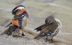 Mr & Mrs Mandarin Duck (blue33hibiscus) Tags: bird waterfowl duck mandarin cheddarreservoir somerset