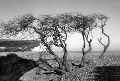 "The ""Beach"" Tree (cngphotographic) Tags: 2018 35mm blackandwhite film ilford pentax beach cuckmerehaven seaside coast england uk britain eastsussex shingle tree southeast southdowns cliffs sea water pebbles contrast"