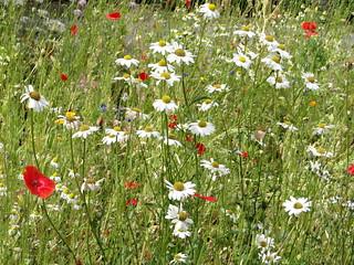 Victoria Park -Wild Flowers