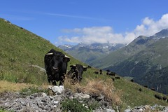 et voilà les belles :) (bulbocode909) Tags: valais suisse bourgstpierre valdentremont vaches vachesdhérens troupeaux montagnes nature nuages paysages alpages vert bleu groupenuagesetciel