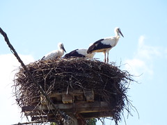 Nesting Stork - Near Petrinja, Croatia (sean and nina) Tags: nest nesting storks birds animals mating pair wings feathers blue sky white clouds high outdoors outside beaks duo two twosome nature natural petrinja croatia hrvatska balkan balkans wildlife eu europe european migrating migration unposed candid aerials summer july 2018