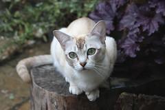 Elsie (pouncealot) Tags: cat catportrait pet petportrait burmilla canon50d canon tamron aww cute