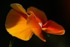 Sidelit Orange Pansy in back garden, Fareham, Hampshire, UK (Art-G) Tags: flower orange macro pansy sidelit bokeh garden fareham hampshire uk canon eos7dmkii tamron90mmucvsd