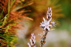 White Flower (petrk747) Tags: whiteflower flower flowers nature needle needles bud coast seacoast mediterraneansea alcudia balearicislands mallorca spain outdoot foto image