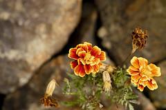 Vida e Morte na cor do sol (Aldimar Batso) Tags: natureza close macro paisagem cores flores canon100mmmacro canon6dmkii