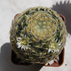 Mammillaria schiedeana (Alex_CL) Tags: mammillaria schiedeana