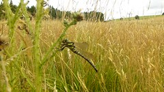 Tickle Tickle! ..x (Lisa@Lethen) Tags: dragonfly tickle video clip nature field summer insect