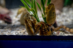 seahorses (severalsnakes) Tags: missouri pentax saraspaedy tamron287528xrdi wondersofwildlife aquarium k1 springfield zoo zoom