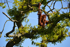 Sumatran Orangutan (Pongo abelii) (Seventh Heaven Photography) Tags: sumatran orangutan pongo abelii pongoabelii primate animal mammal chester zoo cheshire nikond3200 tree