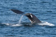 AHK_6754 (ah_kopelman) Tags: unkmncresli2018080802 2018 cresli creslivikingfleetwhalewatch megapteranovaeangliae montaukny vikingfleet vikingstarship abrasionsandentanglementscarsonpeduncle calfofunkmncresli2018070801 humpbackwhale whalewatch