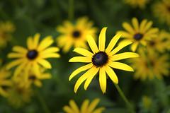 Outstanding (Modkuse) Tags: flower flowers blackeyedsusan fujifilm fuji fujifilmxt2 xt2 xf1855mmf284rlmois yellow yellowflowers photoart fujinonxf1855mmf284rlmois