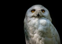Schneeeule (Fritz Zachow) Tags: schneeeule vogel tier tierpark thüle deutschland niedersachsen