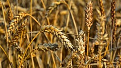 Gift of nature (Szymon Simon Karkowski) Tags: outdoor grain gift nature field harvest summer ear cultivation silesian voivodeship gliwice poland nikon d7100