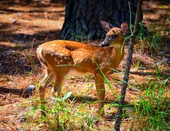 Baby Deer along Island Road - Jamestown VA (mbell1975) Tags: williamsburg virginia unitedstates us baby deer along island road jamestown va usa america animal doe woods