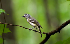 Blue-headed Vireo (Kremlken) Tags: vireos breeding forest newyork birds birding nesting nikon500