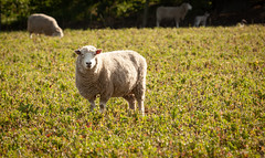 20180813_0102_40D-200 Ewe [Explore] (johnstewartnz) Tags: 40d canon40d canoneos40d sheep ewe mother apsc canonapsc eos 70200mm 70200 70200f28 farmanimals