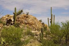 Saguaro East Rincon Mountain District (CHWVB) Tags: saguaro wüste tucson kaktus sonora desert arizona usa cactus