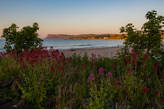 Ballycastle       Beach Flowers (JB_1984) Tags: beach flowers plants coast causewaycoast ocean atlanticocean cliff goldenhour evening dusk sunset colour ballycastle countyantrim northernireland uk unitedkingdom nikon d500 nikond500