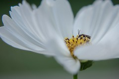 Little bug in the flower (My Photolifestyle) Tags: