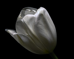Single White Tulip 1231 (Tjerger) Tags: nature flower bloom blooming plant natural flora floral blackbackground portrait beautiful beauty black green closeup white winter single tulip wisconsinmacro