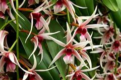 Epigeneium lyonii (rolf_leon) Tags: orchidee orchid orchidée dendrobium epigeneium