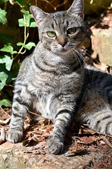 Camille (rootcrop54) Tags: camille female mackerel tabby eyecontact ivy neko macska kedi 猫 kočka kissa γάτα köttur kucing gatto 고양이 kaķis katė katt katze katzen kot кошка mačka gatos maček kitteh chat ネコ