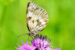 Nikon CLOSE-UP (lucamarasca1) Tags: nikkor18200mm 18200mm nikond5500 nital nikonitalia insect wild wildlife macro closeup macrocloseup natura nature farfalla butterfly