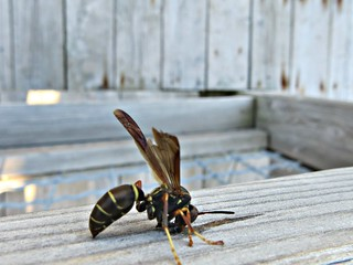 Wood chewing Wasp
