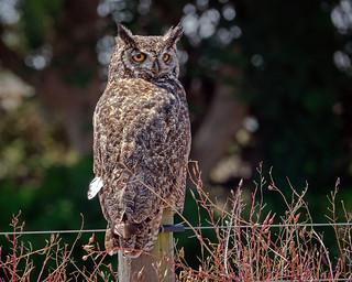 Great Horned Owl #7