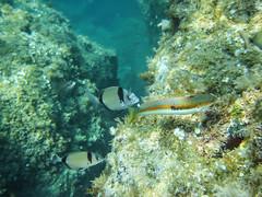 Sars communs (Diplodus sargus) et Girelle    Banyuls/Méditérranée (francisaubry) Tags: plongée poisson scubadiving diving nikon nikkor méditérranée banyuls