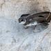 Bank Swallow (bbatley) Tags: bank swallow beach