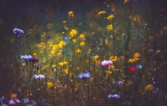 Wild flowers (Dhina A) Tags: sony a7rii ilce7rm2 a7r2 a7r minolta rf rokkorx 250mm f56 mirror reflex minolta250mmf56 md prime rokkor bokeh wild flowers garden