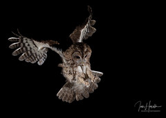 Tawny owl (Ian howells wildlife photography) Tags: flash inflight raptor birdofprey canonuk canon hide owl tawnyowl naturephotography nature wildbird wild wildlife wildlifephotography ianhowells