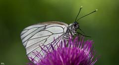 Schmetterling (roland_lehnhardt) Tags: canon eos60d ef100mmf28usm makro nahaufnahme grosaufnahme schmetterling butterfly tiere animals insekten insect augenfalter edelfalter damenbrett melanargiagalathea schachbrett
