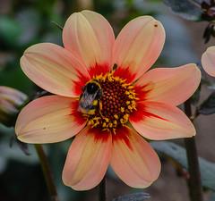 Dahlia Date (frankmh) Tags: plant flower dahlia dahliadate sofiero sofierocastlegarden helsingborg skånemacro bumblebee insect macro