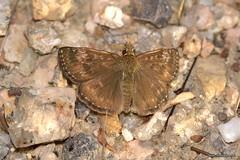 Erynnis tages (Linnaeus, 1758) (Jesús Tizón Taracido) Tags: insecta lepidoptera hesperioidea hesperiidae pyrginae erynnistages