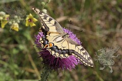 butterfly at Lucus Feronia 2018_02