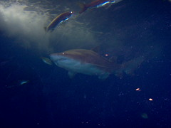 Shark (Adventurer Dustin Holmes) Tags: underwater 2005 water animal predator saltwater aquarium indoor wondersofwildlife museum zoo springfield missouri ozarks greenecounty springfieldmo sea ocean aquatic